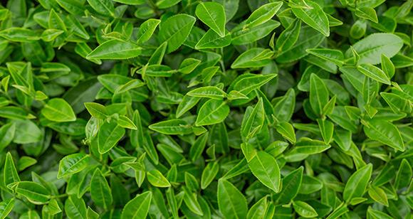 Benefits of Green Teas