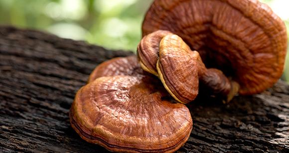 Benefits of Reishi Mushrooms
